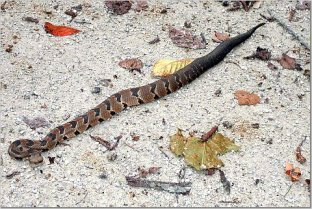 Timber rattler on the Katy Trail